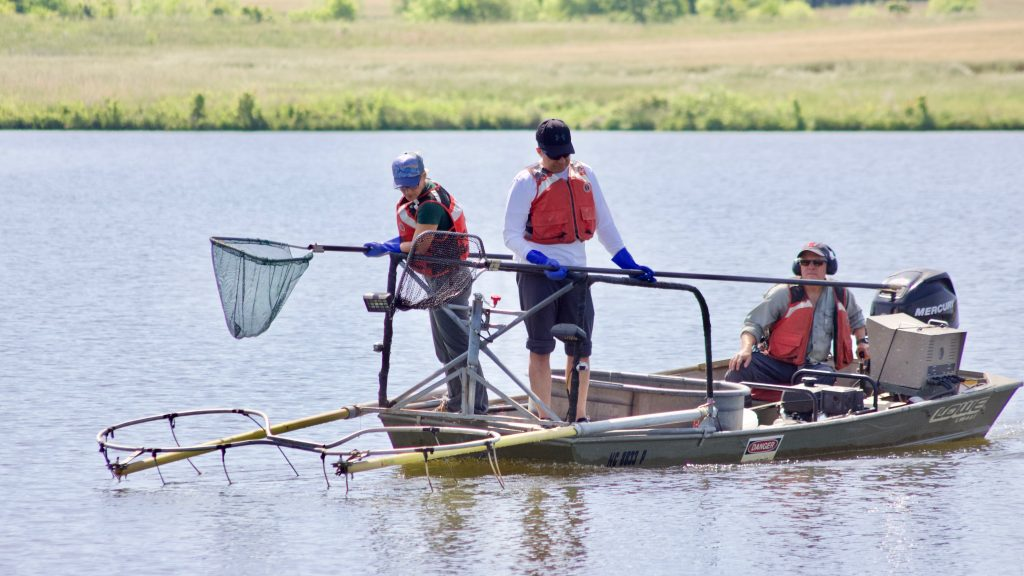 Electrofishing small impoundments off campus.