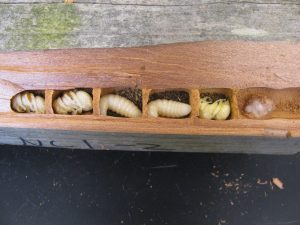 Bee larvae from the bee bench.